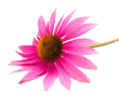 fototapete-echinacea02
